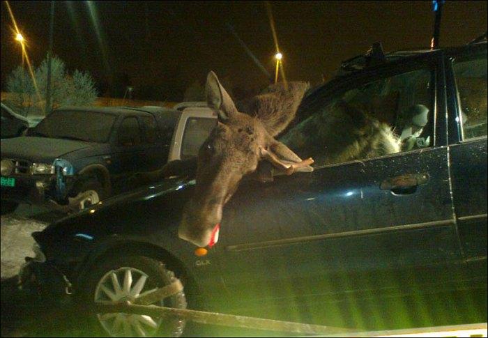 Moose Alarm - Foto Trond Bonde