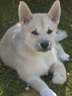 norsk buhund - norsk buhundklubb