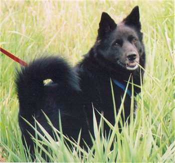 Norwegian Elkhound Black