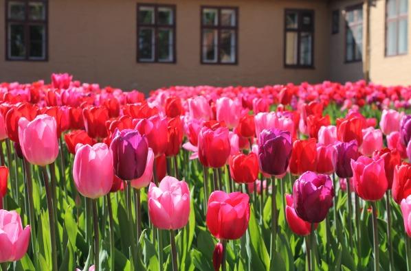 Oslo, tulipaner - resized