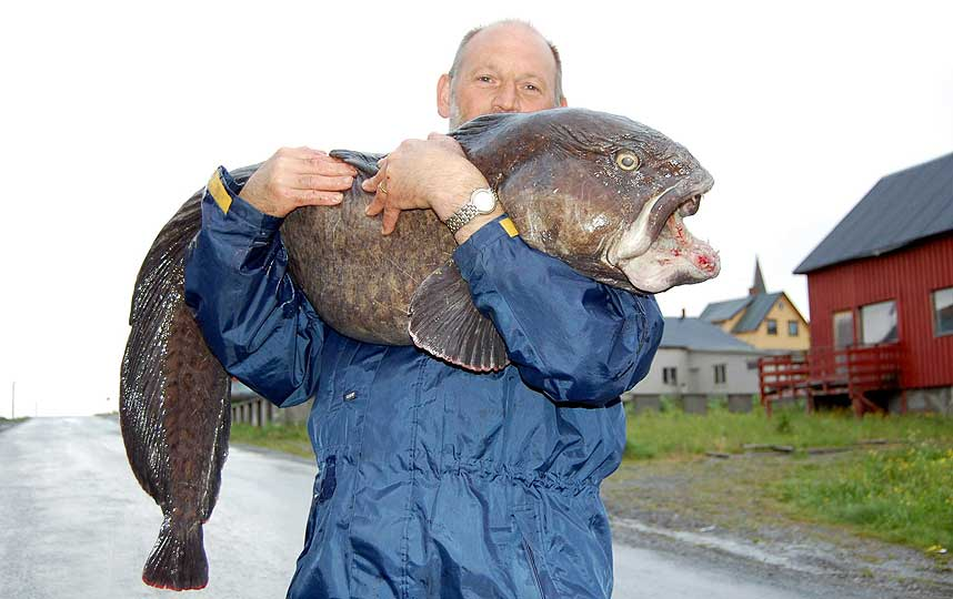 The world s largest atlantic wolffish caught on rod and reel for World largest fish