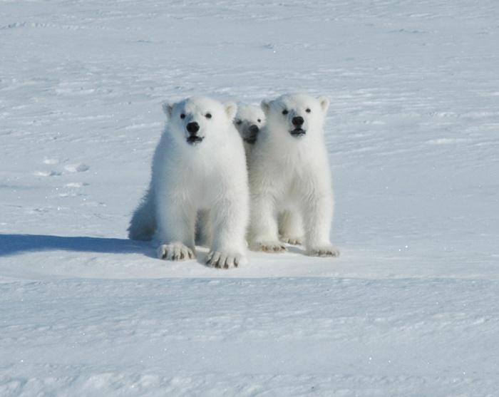 Polar Bear Babies - Svalbard