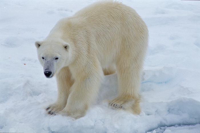 Polar Bear - Svalbard