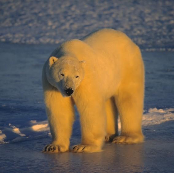 Isbjørn Svalbard