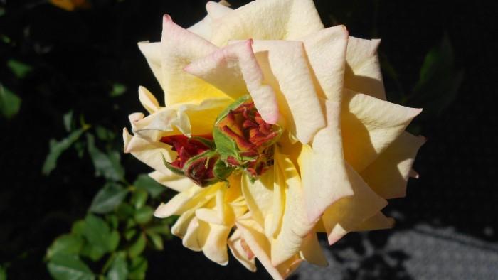 Roser - med roser inni