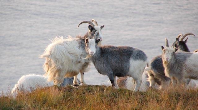 Coast Goat 2
