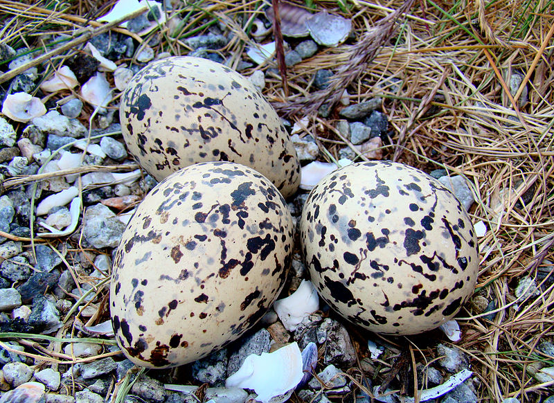 Eurasian oystercatcher eggs photographed in northern norway photo