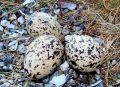 Oystercatcher Eggs Norway