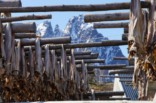 Stockfish from Lofoten Norway 1