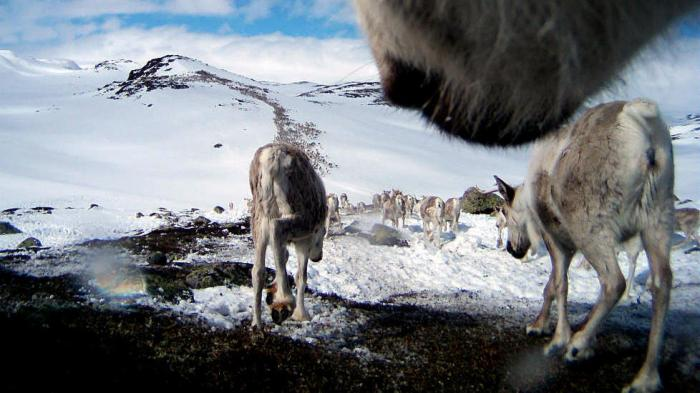 Wild Reindeer on Hardangervidda Norway