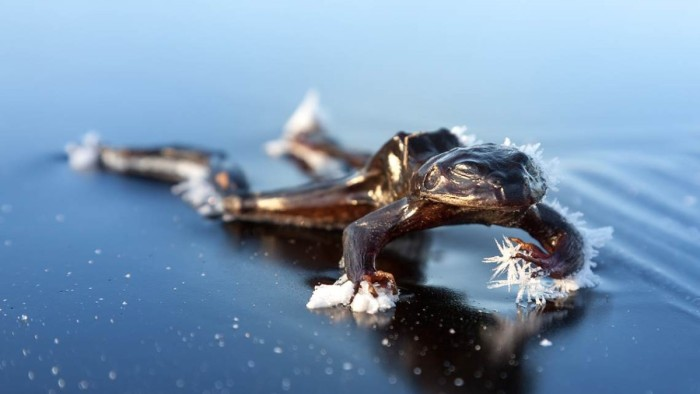 Frog trapped in ice Norway