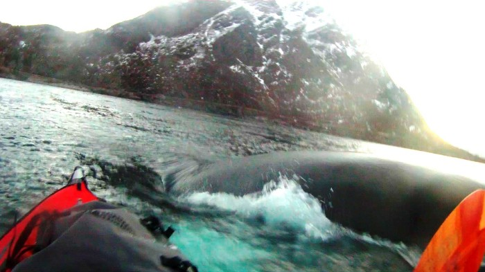 Humpback Whale Northern Norway 1