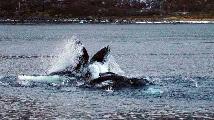 Humpback Whale Northern Norway 3