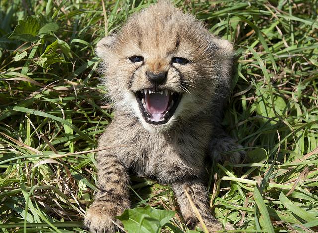 Amani's Cubs