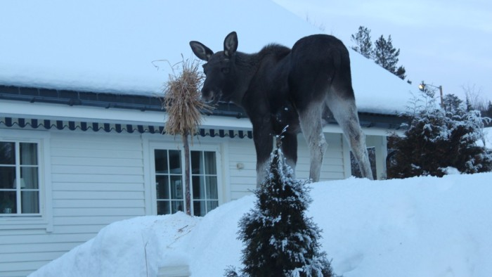 Moose caught warching german crime tv series