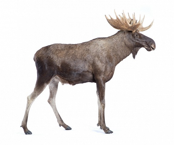 Stuffed Full-size Moose Norway for Sale 2