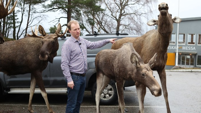 Stuffed Full-size Moose Norway for Sale