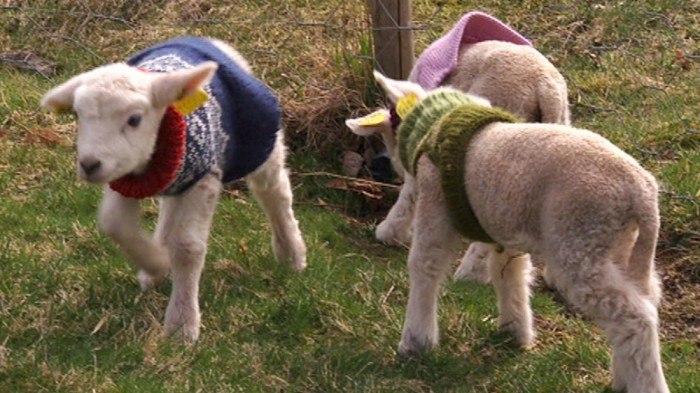 Norwegian Lambs Wearing Marius Sweaters 2