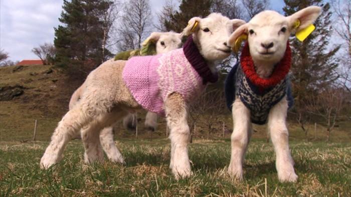 Norwegian Lambs Wearing Marius Sweaters