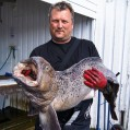 Record Spotted Wolffish Norway