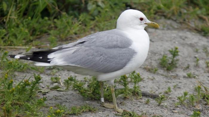 Emma Norways Oldest Seagull