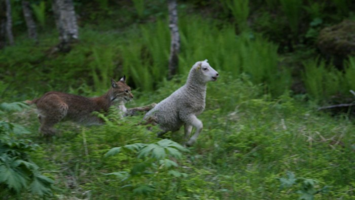 Lynx Attacks Sheep Norway