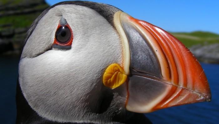 Atlantic puffin Norway 1