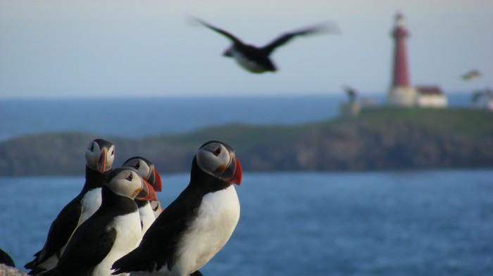 Atlantic puffin Norway 3