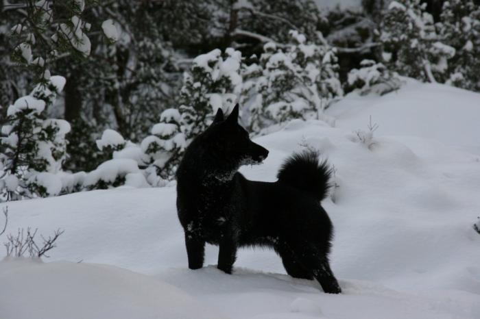Norwegian Black Elkhound