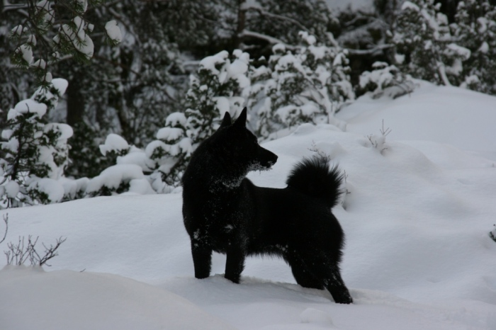 Norwegian Black Elkhound