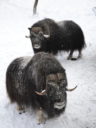 Musk Oxen Norway