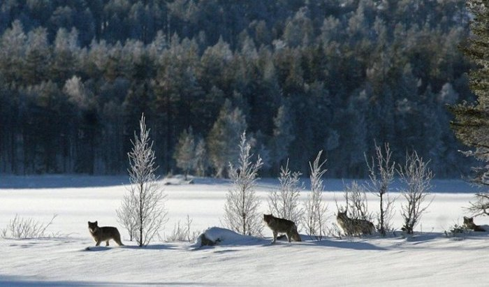 Wolf Pack Scandinavia Norway
