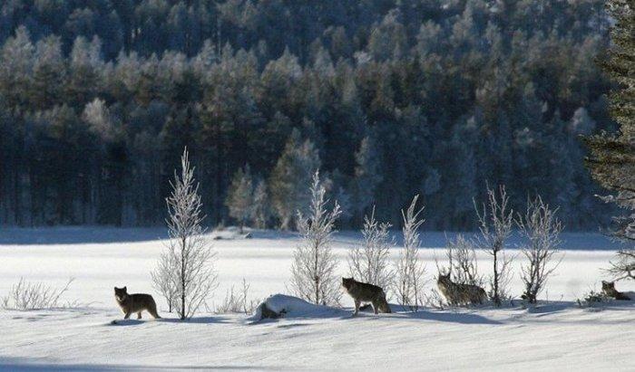 Wolf Pack Scandinavia Norway