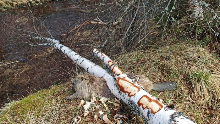 Beaver Killed in Work Accident Norway