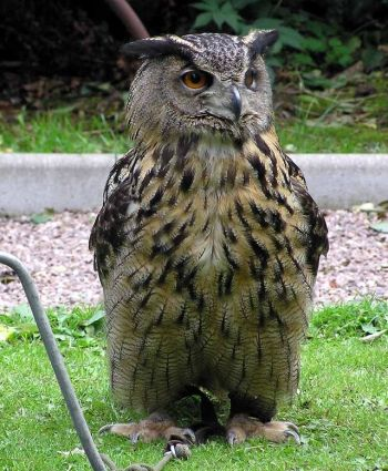 Eurasian Eagle-Owl Close