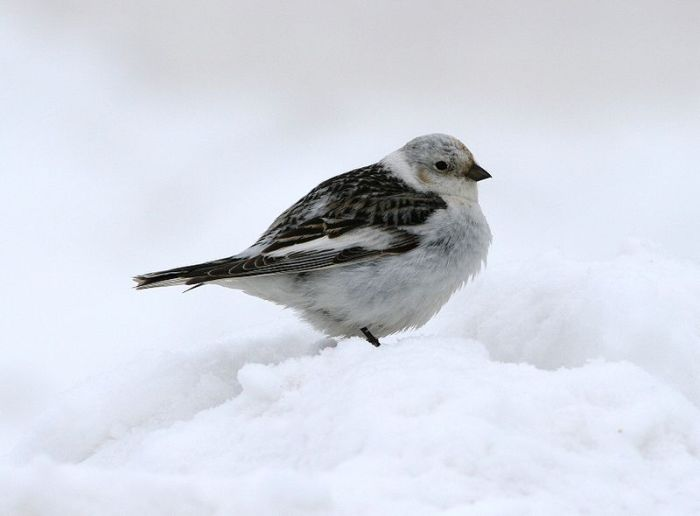Snow bunting wiki