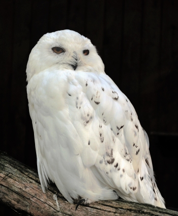 Snowy owl wiki