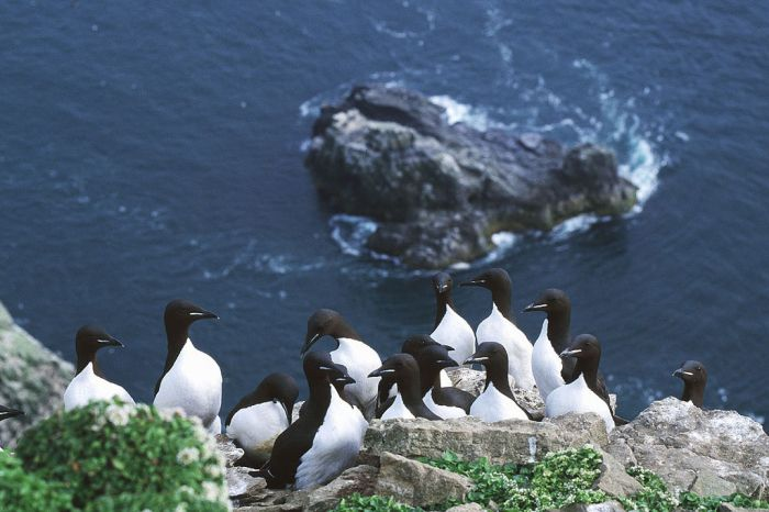 Thick-billed murre wiki