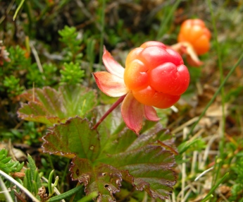 Cloudberry Forest Gold of Norway